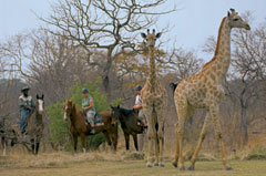 Victoria Carriage Horseback Safari Giraffe