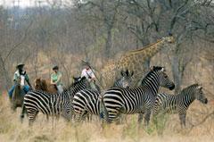 Victoria Carriage Safari Horse Zebra Zambia
