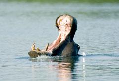 Victoria Falls River Safari Hippo Zambezi